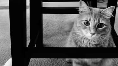Picture of ginger tabby cat in black and white