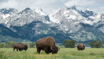 picture of buffalo in Wyoming with mountain in background