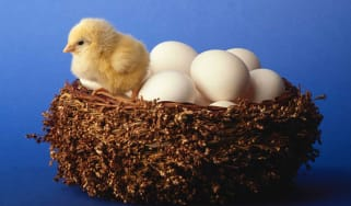 A chick sits in a nest filled with eggs.