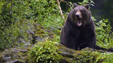 A brown bear in the forest in the Bayerische NAtional park.